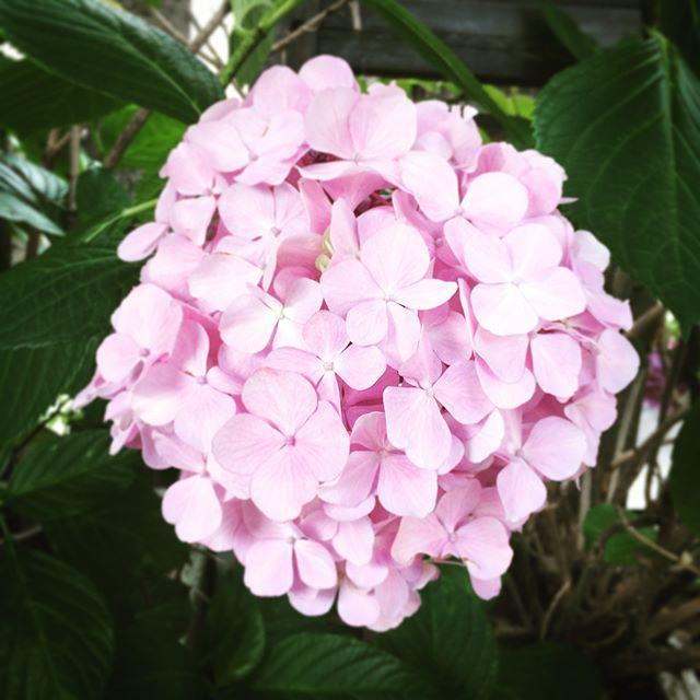 夏至を越えて初夏の風️これで今年の紫陽花も見納めです雨の季節に彩りと心地よさをありがとう (from Instagram)
