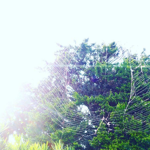 一夜にして1メートルを超える蜘蛛の巣を作って🕸無意識にぶつかったり、意図的に人間にぶっ壊されても、また翌朝には復活している。すごいですよね! (from Instagram)