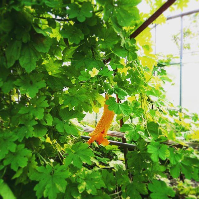 ビニールハウスの中にゴーヤが…食べ頃を過ぎると…こんな感じ。自然界は色彩豊か! (from Instagram)