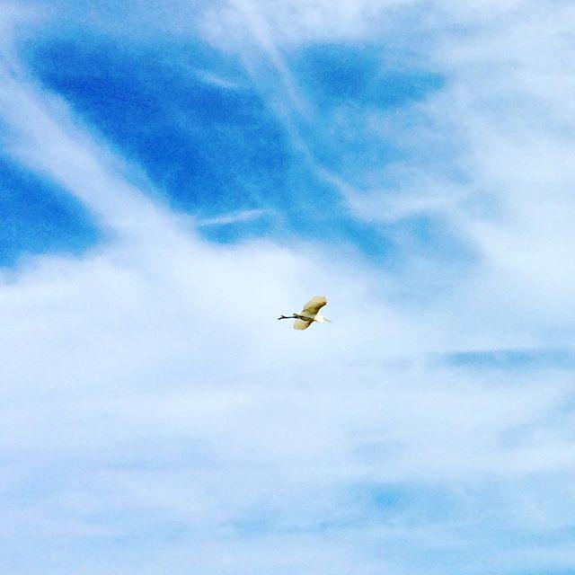 鳥の飛ぶ様に人は憧れ、鳥は大空を渡る。そしてこうして秋の田んぼで食事します🍽人間との悪くないバランス関係(笑) (from Instagram)