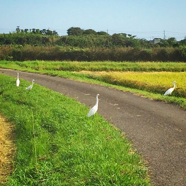 稲刈り中はいつも白鷺さんがいるのが日常なので、たまに一羽も来ない時は、心配してしまいます(笑) (from Instagram)