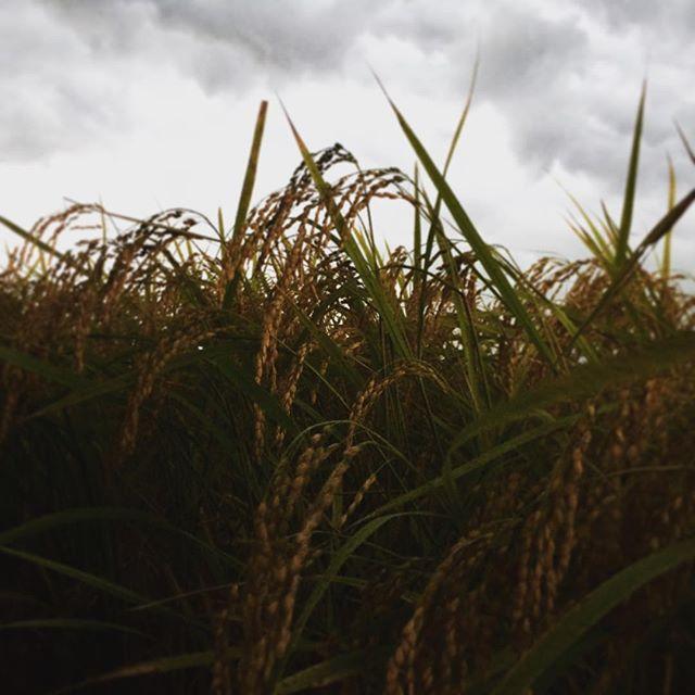 いつ撮ったか忘れましたが、稲や植物と嵐や雷とのプラスな関係性について適切に証明してくれる科学者が出現してくれることを願います( ͡° ͜ʖ ͡°)だって現代人はそこんところ怠慢な気がして残念なんです^ ^ (from Instagram)