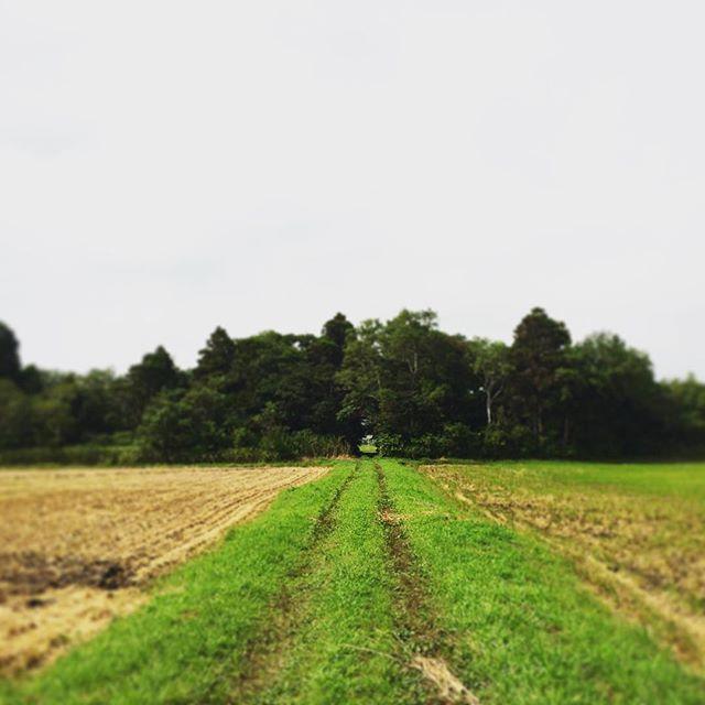 田んぼ道。畦道。土の道。舗装されてない道。まぁ何と呼ぼうが道は道なんですけどね。この車のタイヤの跡が、なんかきっと人間のエリアなんです。きっとそのくらいの割合が丁度いいんです。なんでも所有して管理するなんてきっと無知で未開で、あまり程度がよろしくない証拠なんです (from Instagram)