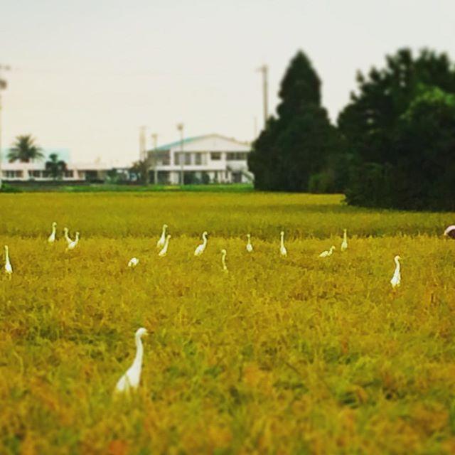 毎年稲刈り中は熱烈なファン達に囲まれます🕊 (from Instagram)