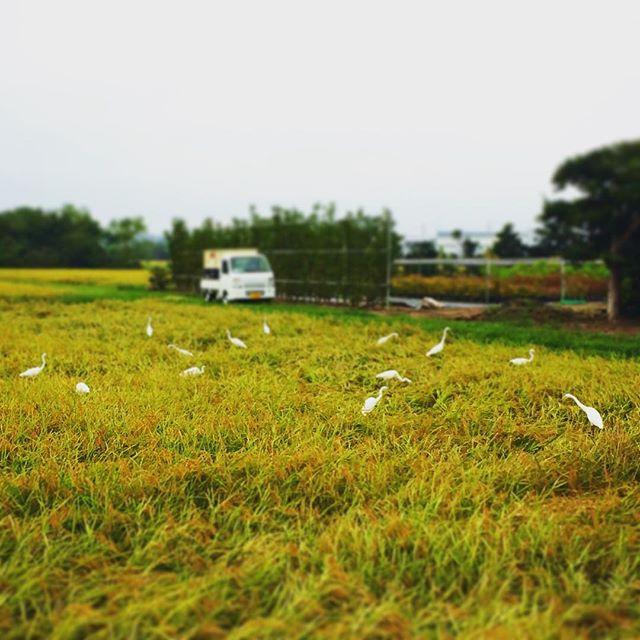 白鷺さんは、別の田んぼに移っても、飛んでやって来ます!なぜバレるのだろう…すごいですよね^ - ^ (from Instagram)