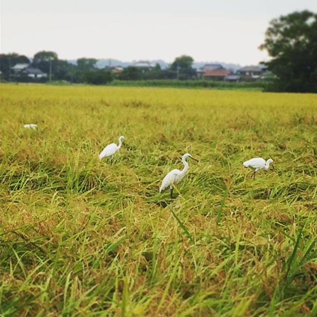 今日白鷺。昨日も白鷺。白鷺写真ばかり…しかし結構、囲まれると嬉しいものです (from Instagram)