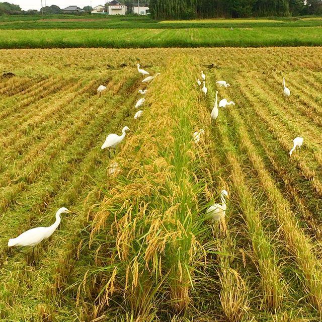 《新米》令和元年最初のお米の販売を開始致しました!収穫時期には台風被災等もございましたが、おかげさまで今年も品質も良好「一等米」をご提供させていただくことができました!写真は稲刈りの時の白鷺さんたちです (from Instagram)