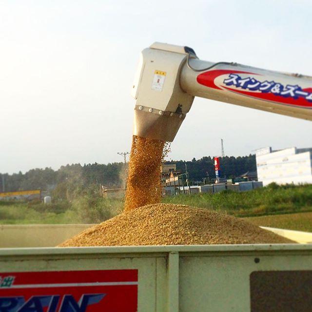 稲刈り時の写真なんか思うのは、機械の技術もそれなりに進化して、農機具系の価格は高額ではあるけど、ほんの数十年前までは手作業だったってことが、まるで嘘のように感じることが多いです🤖 (from Instagram)