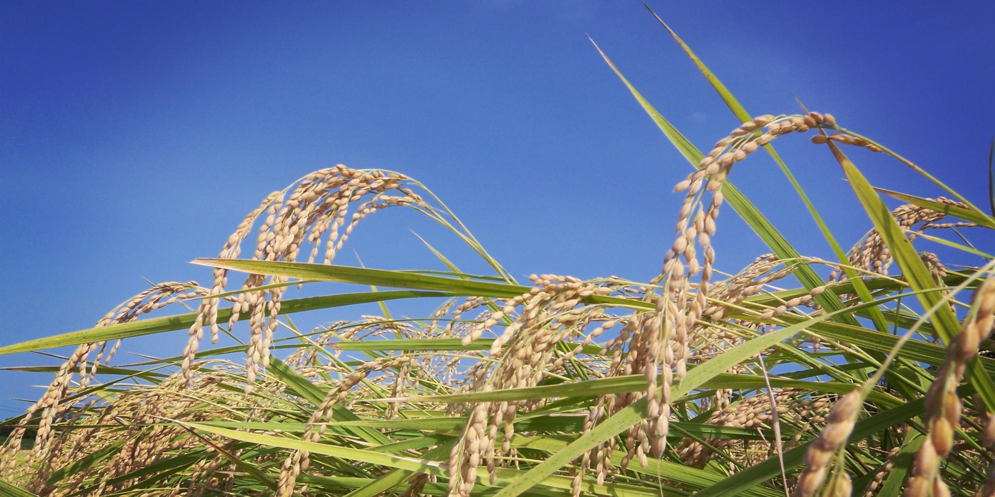 八米屋《お米の美味しい処》自然生命と共に生きてお米も人も喜ぶ美味しさを想うちょっと風変わりな稲作農家(はちまいや)